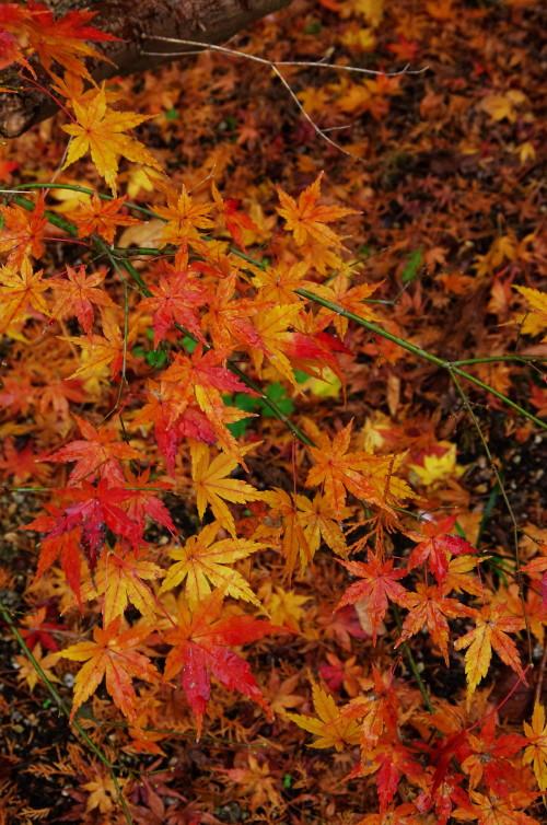九品寺 楓の紅葉