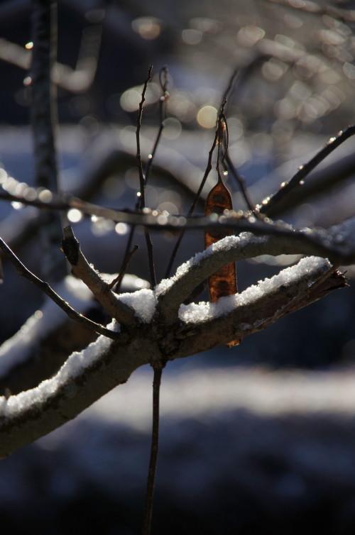 合歓木の枝雪