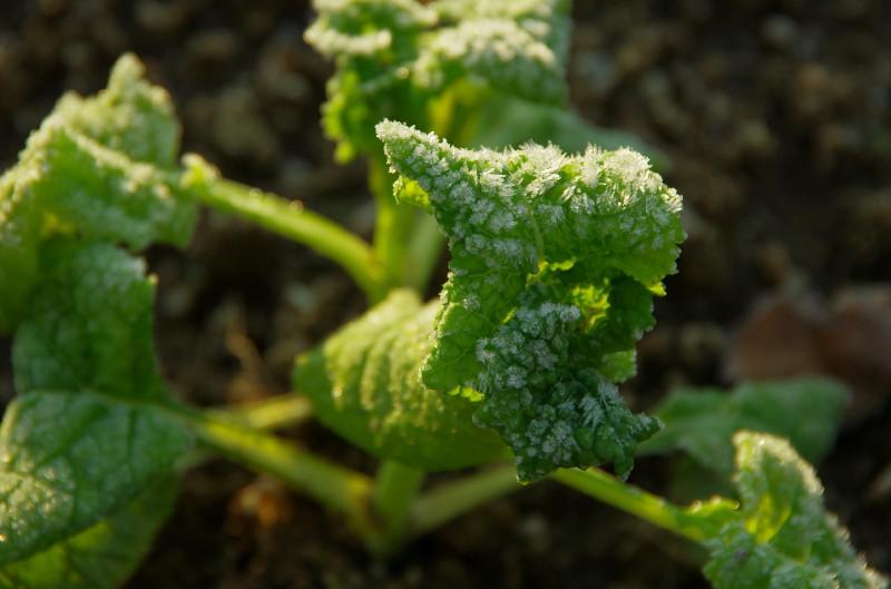 菜の花の苗