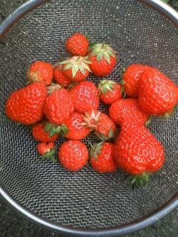 5-24イチゴ