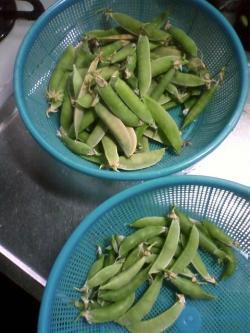 6-6マメ収穫