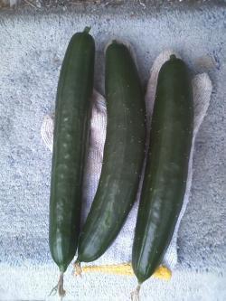 6-13収穫