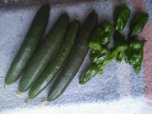 6-15収穫