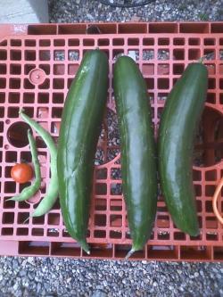 7-4収穫
