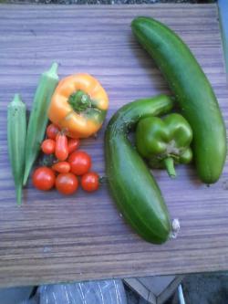 8-15収穫1