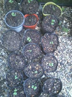 9-18茎ブロッコリー