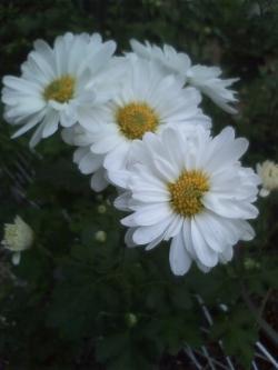 11-6小菊