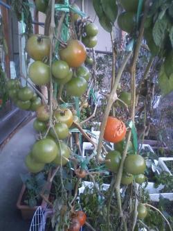 1-23フルーツトマト