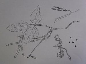 植物画 クリックで拡大