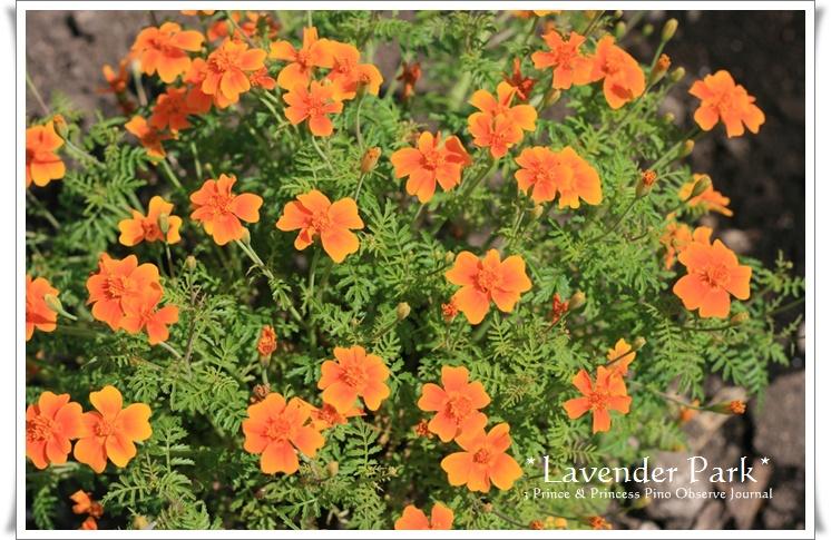 lavendar0009-20100728.jpg