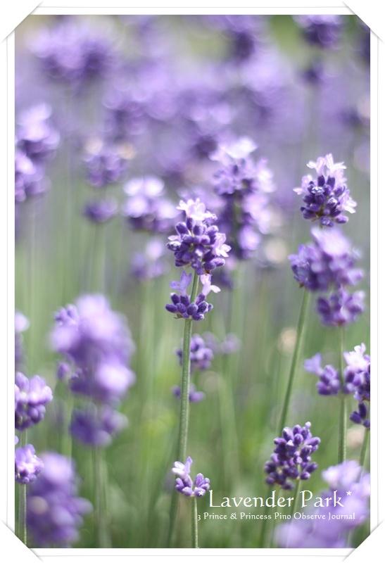 lavendar0027-20100728.jpg