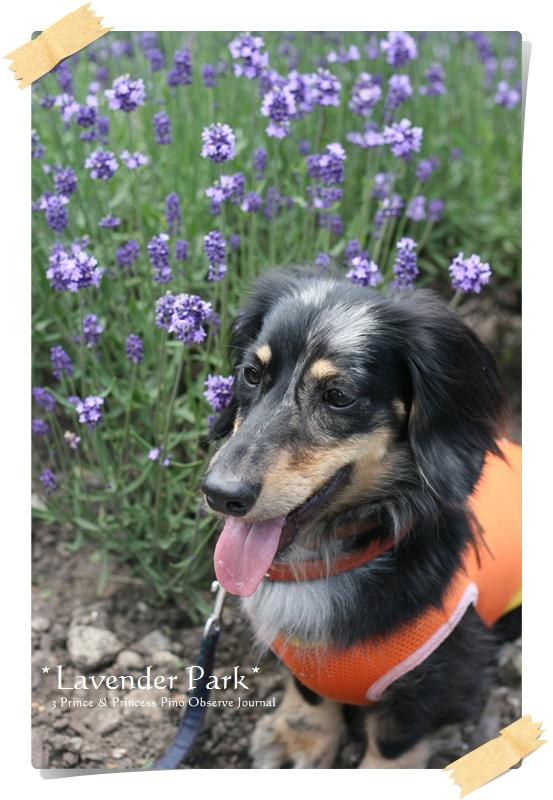 lavendar0077-20100728.jpg