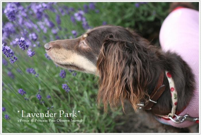 lavendar0082-20100728.jpg
