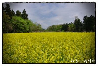 itamuro_nanohana2.jpg