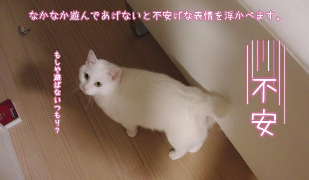 遊んでアピール中の白猫みぃたん