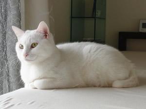 白猫兄弟の弟みぃたんの壁紙用サムネイル