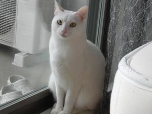 白猫兄弟の兄ムクちゃんの壁紙用サムネイル