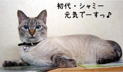 猫便り-シャミー