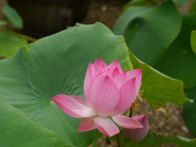 雨の後蓮の花1