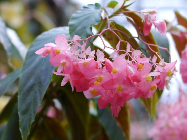 P1140398 愛らしいピンクのベゴニア