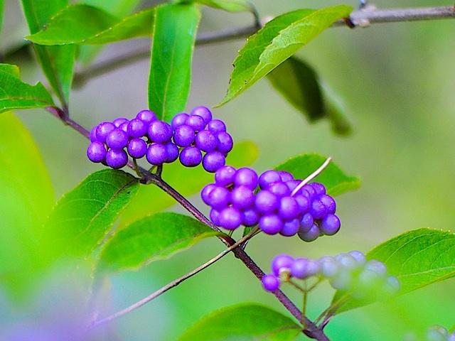 PA100970 紫の実1