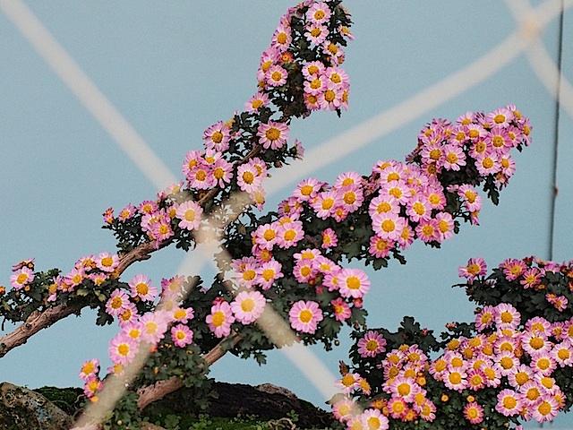 PB060271 ピンクの小花菊