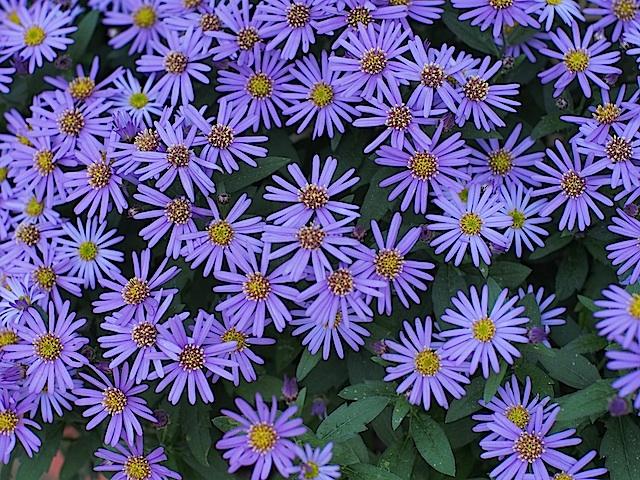 PB060231 紫小菊の集まり1