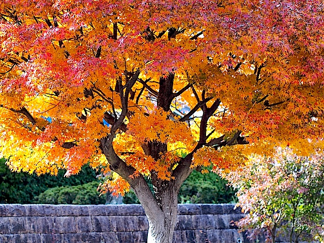 PB260323 大きな紅葉の木
