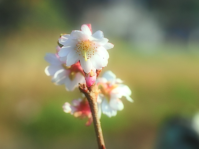 PB240436 冬桜2