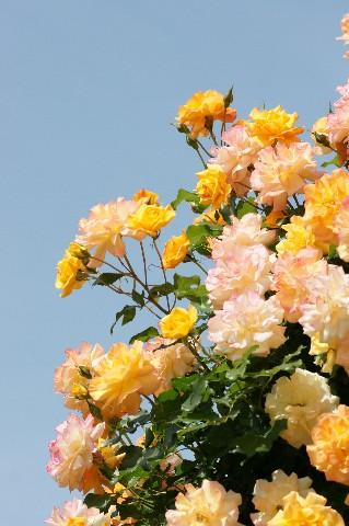 黄色い薔薇と青空