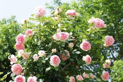 ピンクの薔薇と青い空