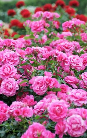 薔薇たくさん
