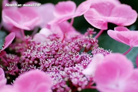 ガク紫陽花ピンク