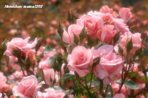 ピンク ソフト