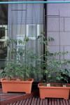 h23,6,25トマト成長状況_1