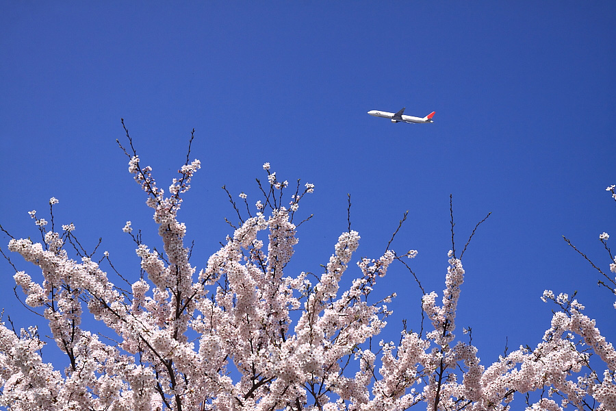 JAL B777-346 JAL2081@天神川土手(by EOS 50D with SIGMA 18-50mm F2.8 EX DC MACRO)
