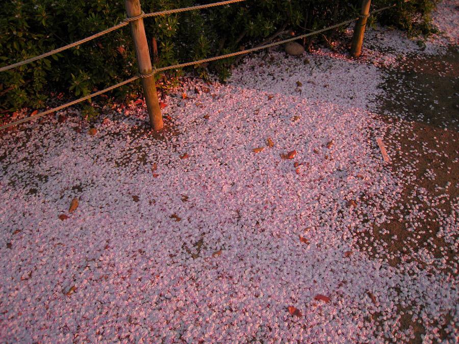 桜の絨毯@昆陽池公園(by IXY DIGITAL 910IS)