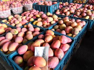 一面のマンゴー2