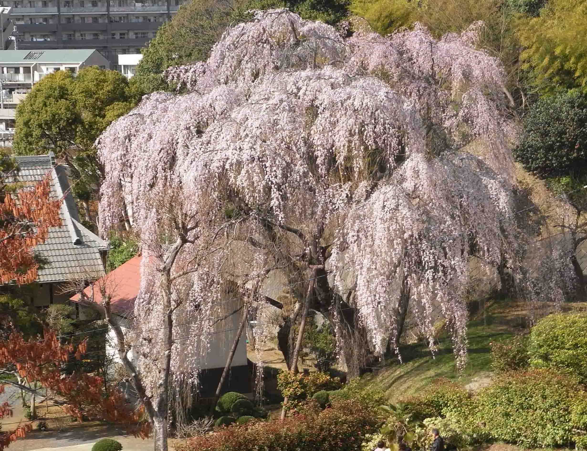 20110404枝垂れ桜 005AA