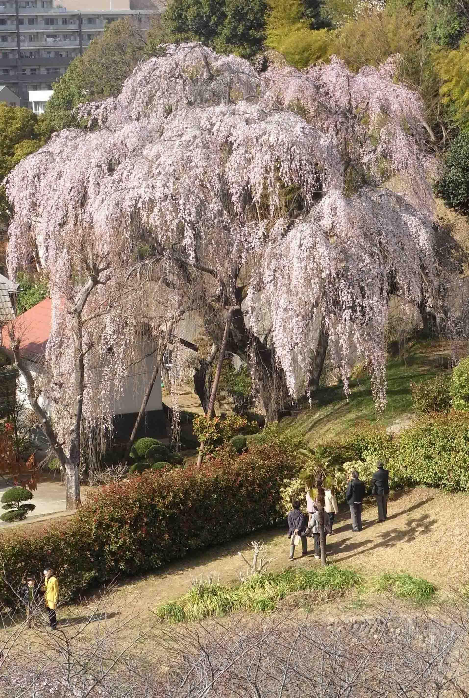 20110404枝垂れ桜 006AA
