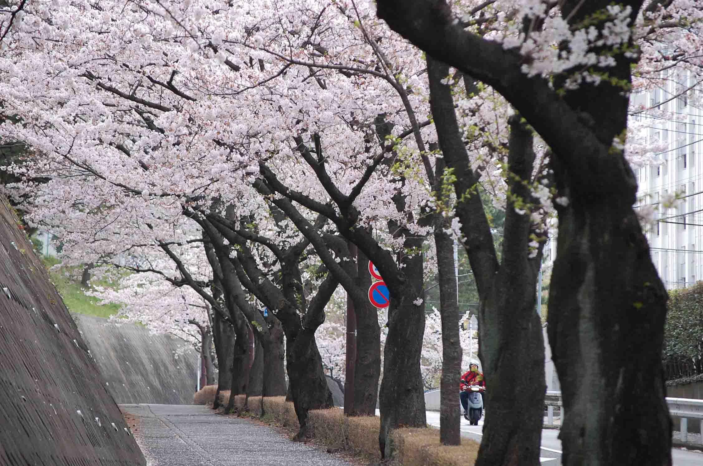 20110410永山桜 052A