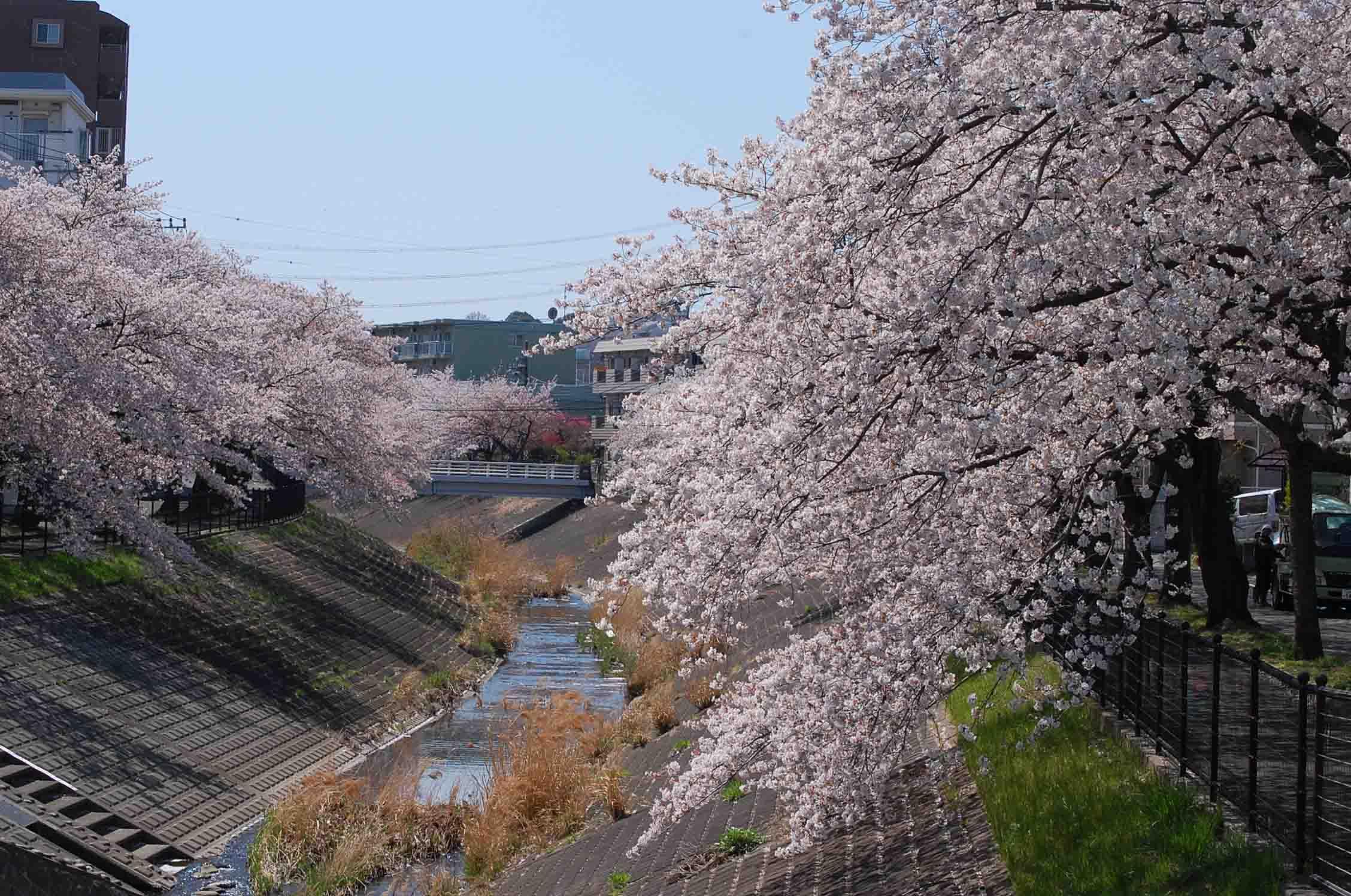 20110412乞田川桜 018A