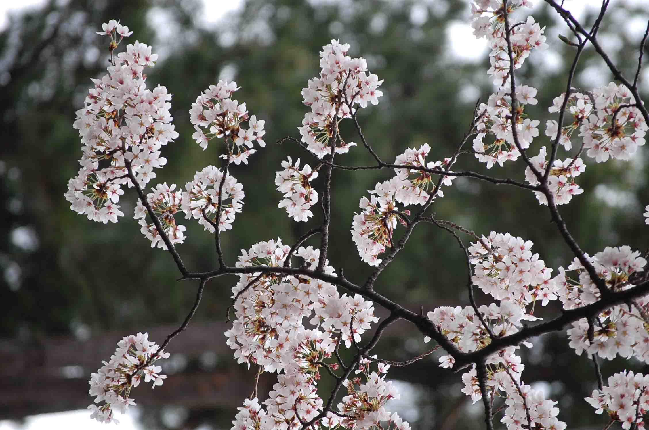 20110410永山桜 035A