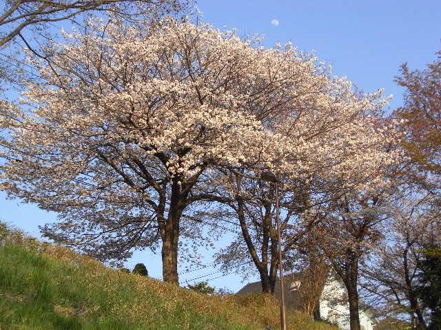 20110414笹塚聖ヶ丘 082
