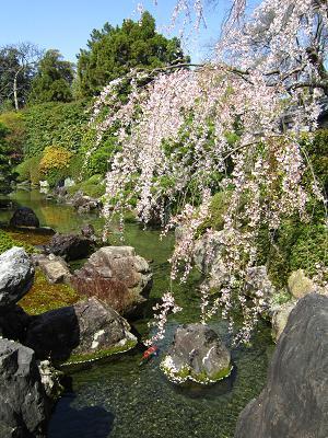 岩と池と鯉と桜と