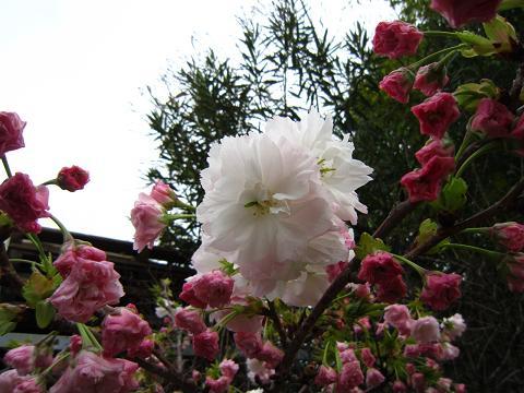八重桜がもう咲いた!