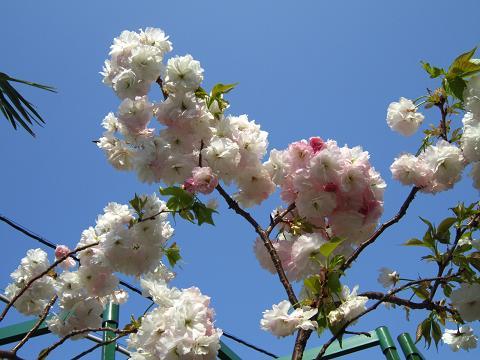 青空バックに八重桜