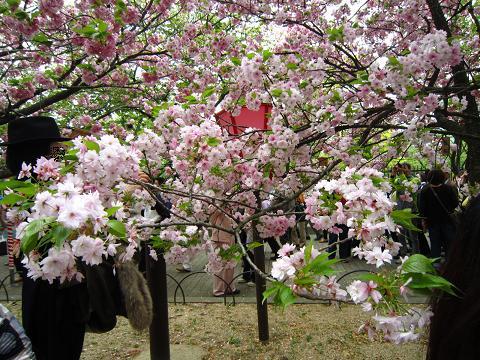 目線高さの桜