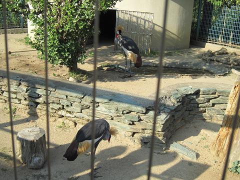 ホオジロカンムリヅル