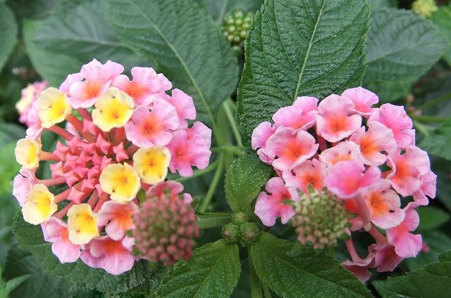 ランタナの花